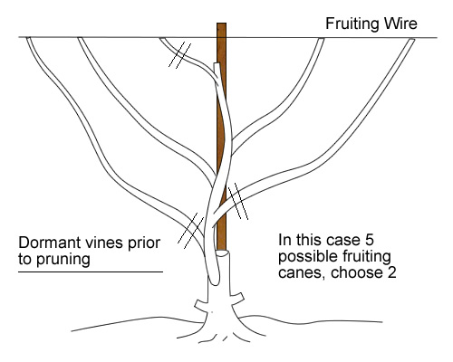 Pruning Grapes Spring The Mossy Tree Llc