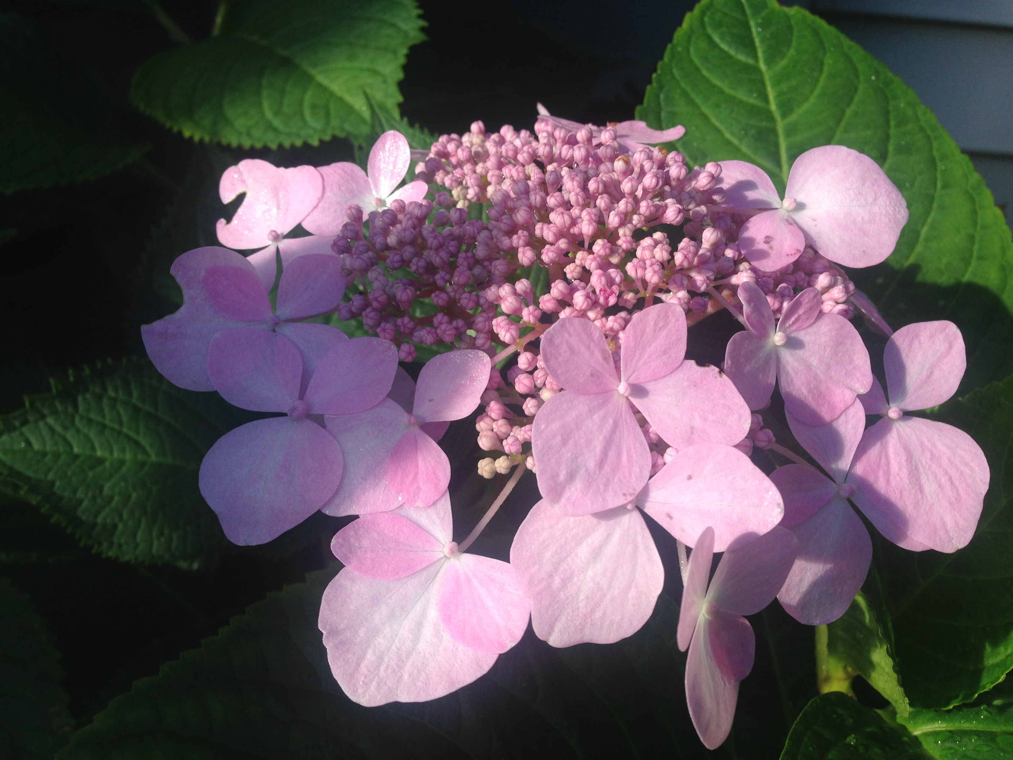 as spring approaches i find myself dreaming of beautiful hydrangea flowers i have 5 different varieties growing in my gardens i am frequently asked how - When To Trim Hydrangea